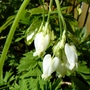 First flower on Dicentra eximia 'Snowdrift'