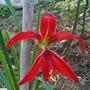Sprekelia formosissima - Aztec Lily