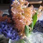 A Vase of Cut Hyacinth 