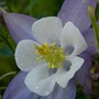 Aquilegia