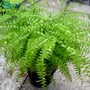 Adiantum Aleuticum &#x27;Miss Marples&#x27;