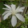 Magnolia 'Stellata'