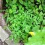 Yellow welsh poppy (Meconopsis cambrica)