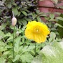 Closer of yellow poppy (Meconopsis cambrica)