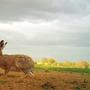 Single brown hare..