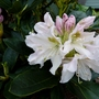 Rhododendron 'Cunningham white'