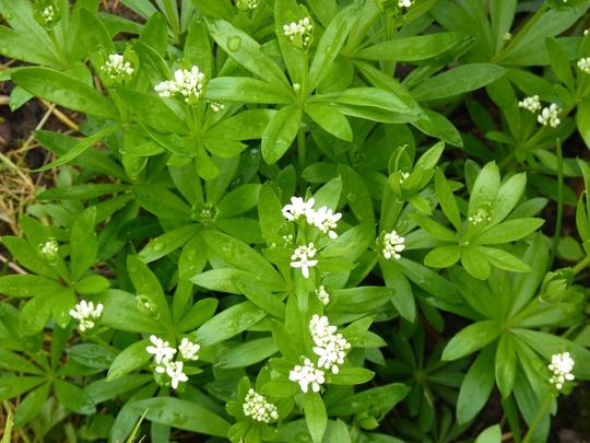 Galium odoratum - Sweet Woodruff (Galium odoratum (Asperula Olorosa))