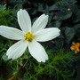 First flowers appearing on the cosmos and begonia (Cosmos bipinnatus (Cosmos))