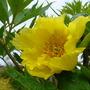 Tree peony (Paeonia lutea (Tibetan Peony))