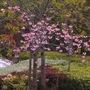 Japanese Ornamental Cherry