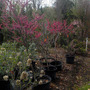 Cercis canadensis 'Appalachian Red' (Cercis canadensis (Eastern Redbud))