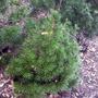Sciadopitys verticillata 'Mitsch Select' (Sciadopitys verticillata (Japanese Umbrella Pine))