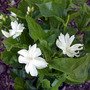 Jasminum sambac 'Belle of India' (Jasminum sambac (Arabian Jasmine))