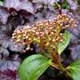 Viburnum cinnamomifolium flower bud (Viburnum Cinnamomifolium)
