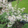Crab Apple in full flower.......