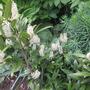 Prunus Laurocerasus 'Otto Luyken'... (Prunus Laurocerasus)
