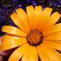 African Daisy (Dimorphotheca sinuata (African Daisy))