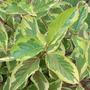 wigela.jpg (Wigela variegatum)