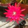 Epiphyllum hybrid (Epiphyllum)
