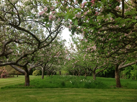 My Neighbour's beautiful Apple Orchard