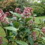 Skimmia Japonica in Bloom