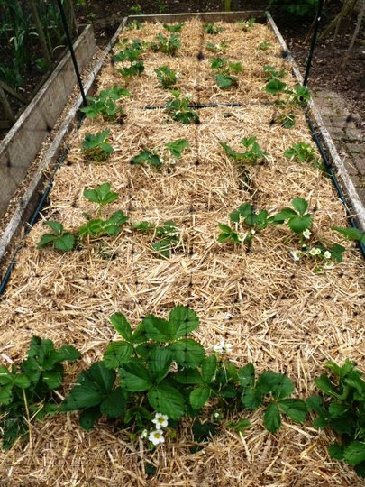 Strawberry bed         strawed and netted  (BIG D)