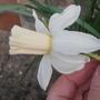 Emcys (Narcissus cyclamineus (Cyclamen-flowered daffodil))