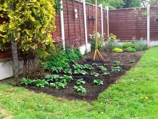 One of the potato beds growing up