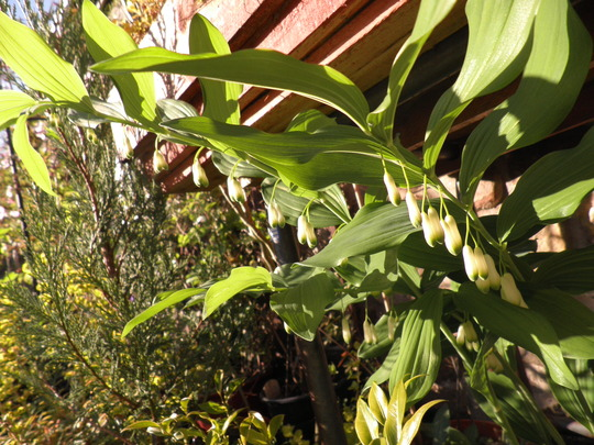 Polygonatum in the sun