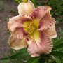 Daylily cross - Lighter Than Air x Whirlpool Galaxy