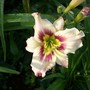 Daylily cross - Dream Legacy sdlg