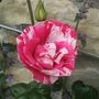 Rosa_calypso_