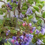 Twisted Hazel and Pulmonaria