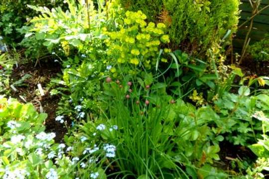 Chives for Bloomer