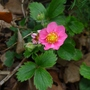 Fragaria_red_ruby_2013