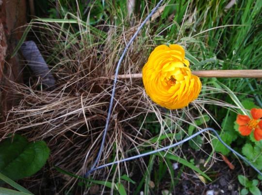 Ranunculus yellow (Ranunculus asiaticus)