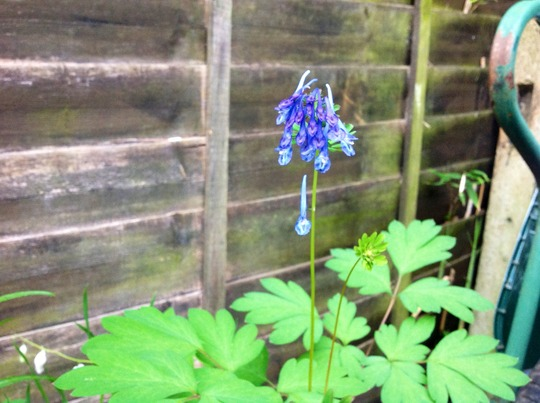 China blue (corydalis flexuosa china blue)