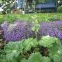 Rhubarb going to seed. (Rheum rhabarbarum (Rhubarb))