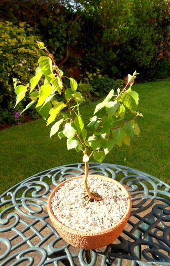 Bonsai Silver Birch (Betula pendula)