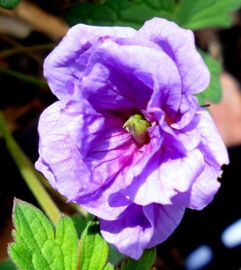 Geranium himalayense 'Plenum' (Geranium himalayense 'Plenum')