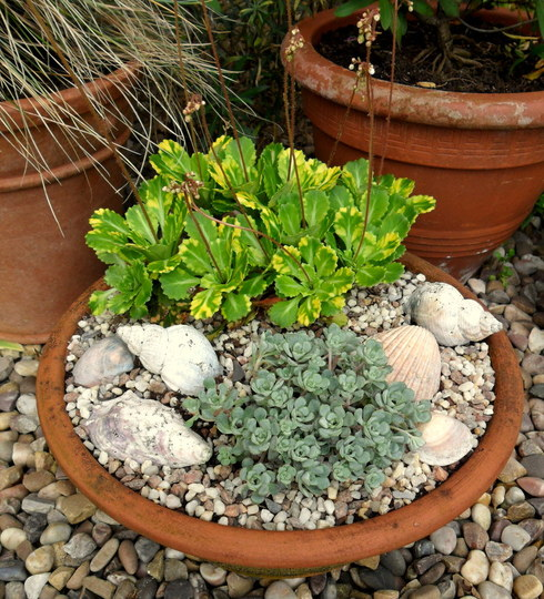 Front garden pots (Sedum spathulifolium 'Cappa Blanca')