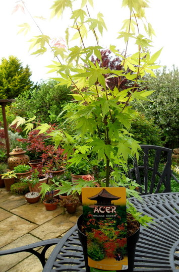 Acer palmatum 'Orange Dream' (Acer palmatum 'Orange Dream')