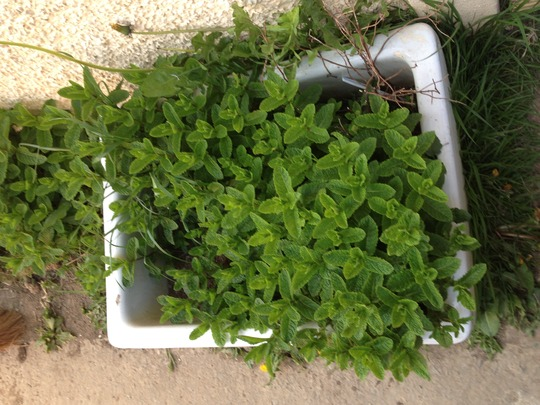 my mint bush :)