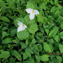 Lily of the Valley en masse...with trilliums