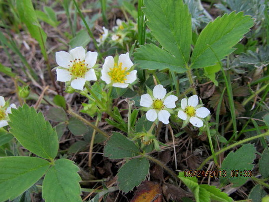 Wild strawberries!  yum! (Fragaria chiloensis (Sand or Beach or Wild Strawberry))