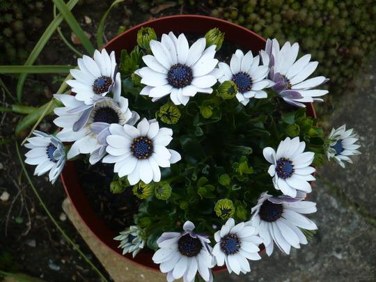 White and blue Osteospermum.