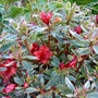 A special little Azalea...evergreen and variegated.
