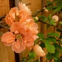 One of my favourite plants....Chaenomeles 'Geisha Girl' (Chaenomeles japonica (Japonica))