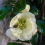 Chaenomeles x superba 'Lemon and Lime' first flower (Chaenomeles x superba (Flowering quince))