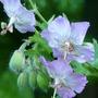 For Karen.......Geranium Phaeum (Geranium phaeum (Mourning widow))
